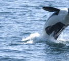 Local Resident Orca