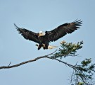 Local Eagle, Nesting at The Oak Bay Fire Hall